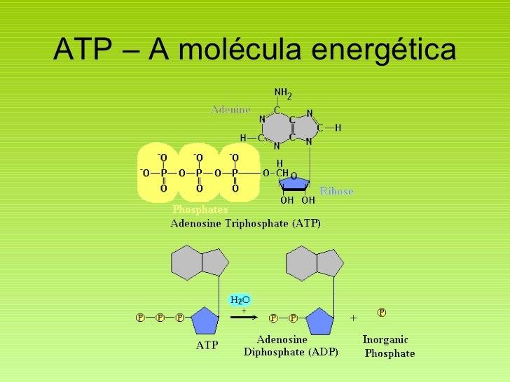 ATP – A molécula energética