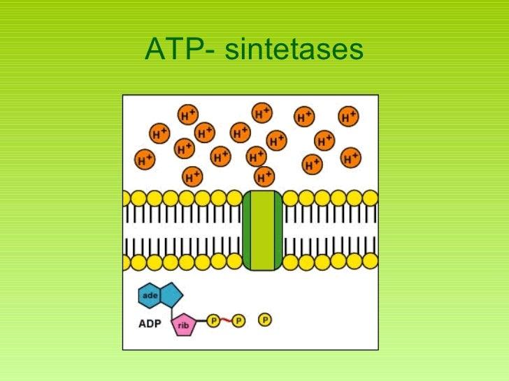 ATP- sintetases