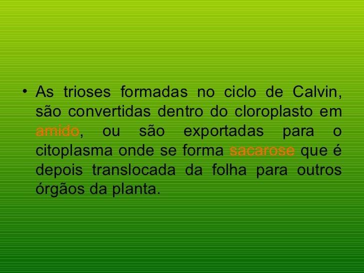 <ul><li>As trioses formadas no ciclo de Calvin, são convertidas dentro do cloroplasto em  amido , ou são exportadas para o...
