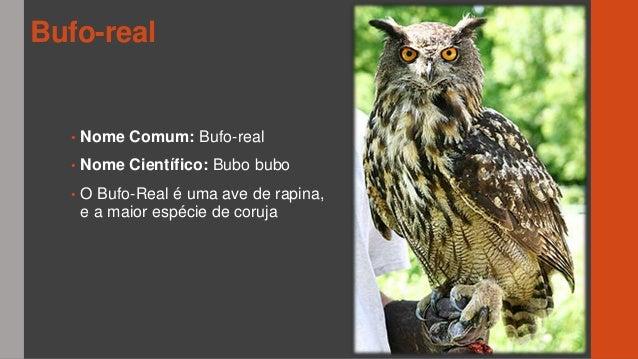 O bufo real - João Cardoso 4BSM Slide 2