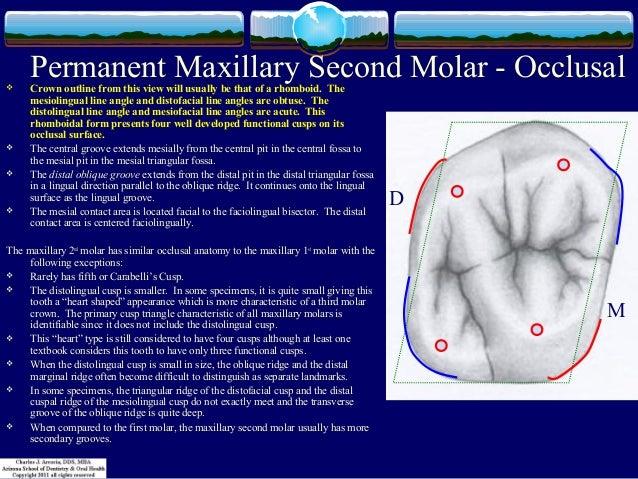 Occlusal anatomy of first maxillary molar