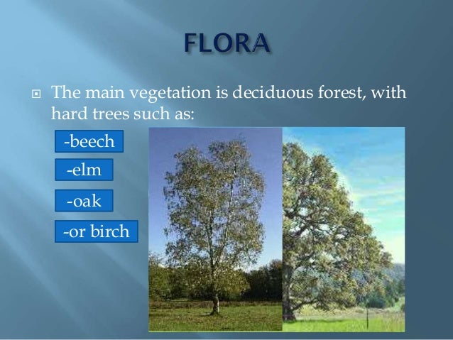  The main vegetation is deciduous forest, with hard trees such as: -beech -oak -elm -or birch