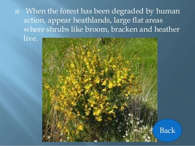  When the forest has been degraded by human action, appear heathlands, large flat areas where shrubs like broom, bracken ...