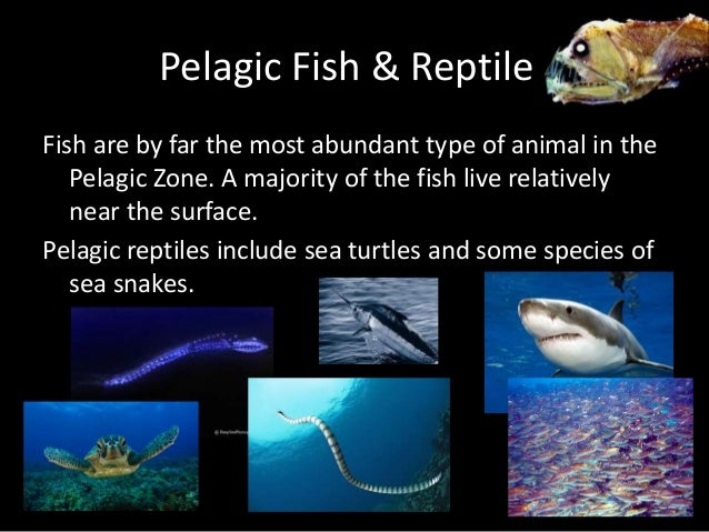 Image result for pelagic fish