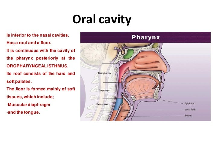 Oral Cavity - The divisions and Boundaries