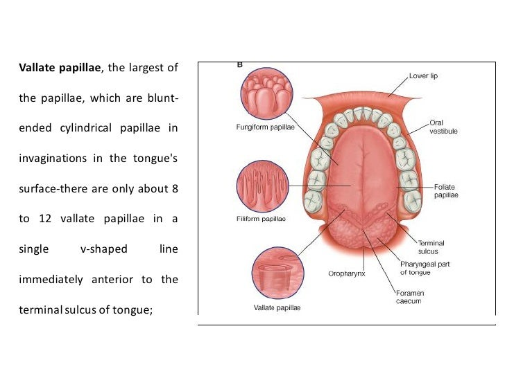 Oral Cavity The Divisions And Boundaries