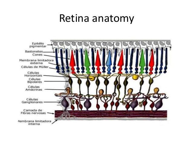 Human eye and retina anatomy