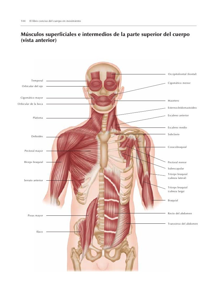 Encantador Músculos De La Parte Superior Del Cuerpo Motivo ...