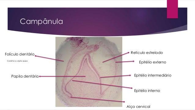 Campânula Epitélio intermediário Epitélio externo Reticulo estrelado Epitélio interno Papila dentária Folículo dentário Al...