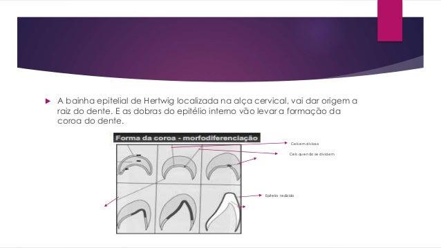  A bainha epitelial de Hertwig localizada na alça cervical, vai dar origem a raiz do dente. E as dobras do epitélio inter...