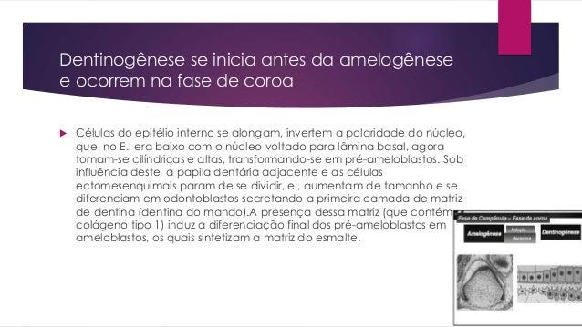 Dentinogênese se inicia antes da amelogênese e ocorrem na fase de coroa  Células do epitélio interno se alongam, invertem...
