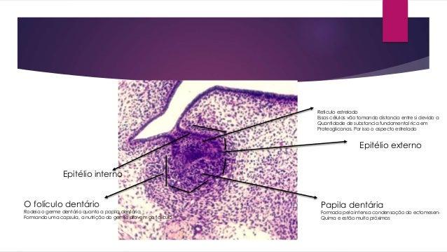 Epitélio interno Epitélio externo Reticulo estrelado Essas células vão tomando distancia entre si devido a Quantidade de s...