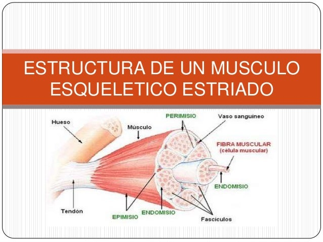 ANATOMIA MIOLOGIA Y FISIOLOGIA MUSCULAR
