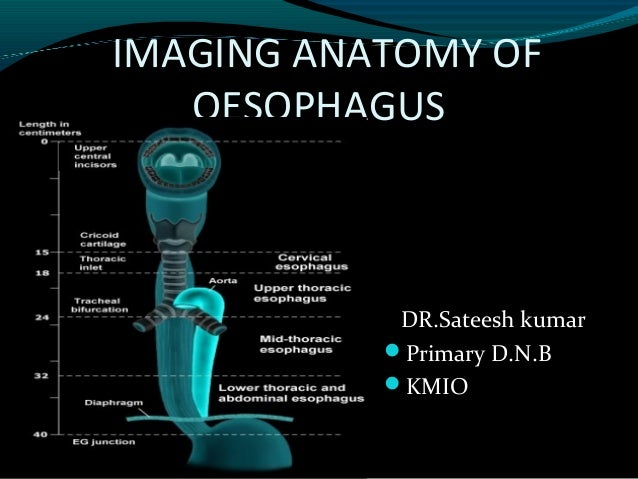 Anatomy of esophagus by dr ravindra daggupati.