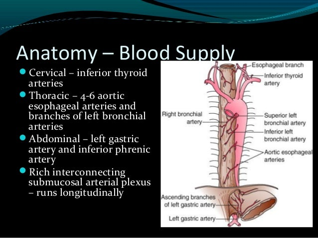 Practical 4 functional anatomy of esophagus and stomach. Ppt.