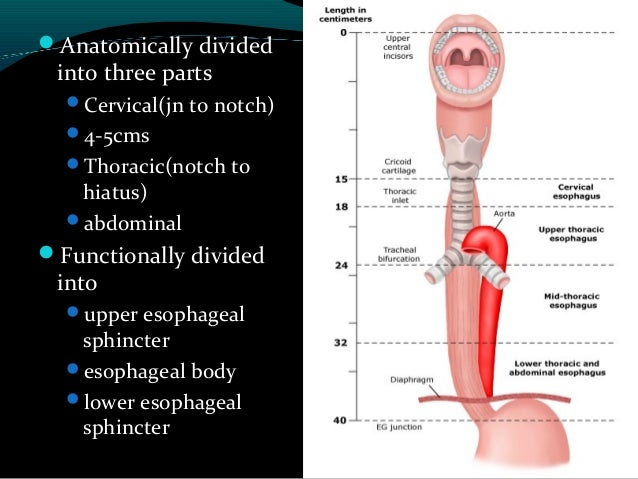 Pdf) anatomy of esophagus.