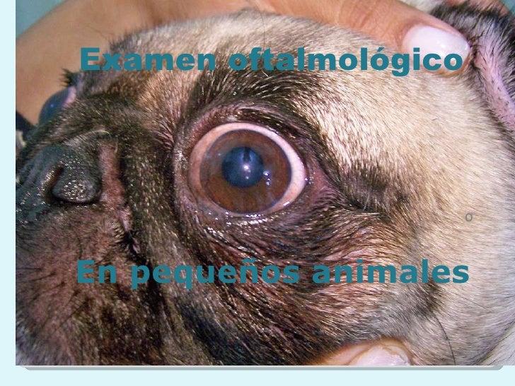 o Examen oftalmológico En pequeños animales