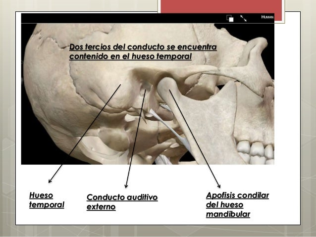 ANATOMIA DE OIDO (INTERNO, MEDIO Y EXTERNO)