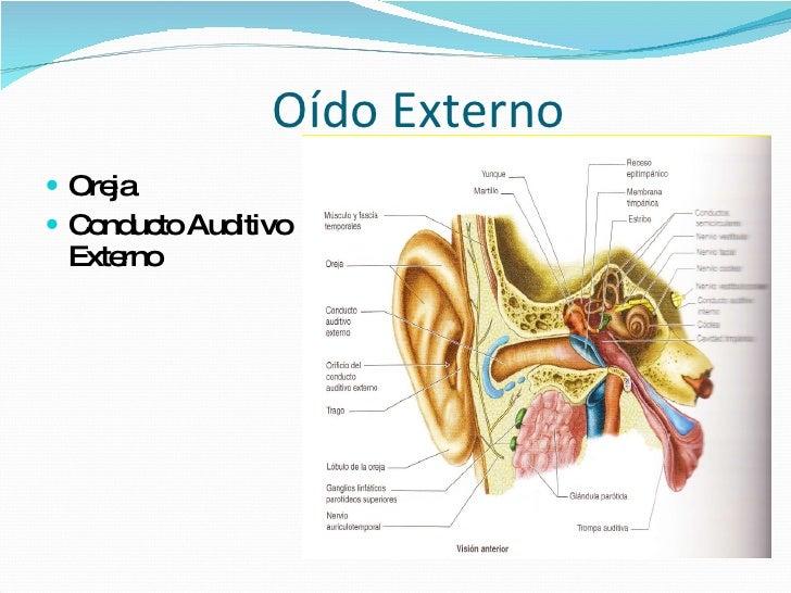 anatomia oido externo