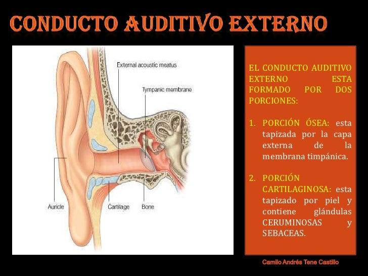 Increíble Anatomía Tubo Auditivo Imágenes - Anatomía de Las ...