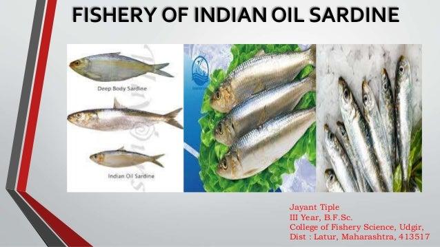 Oil Sardine Fishery Of India