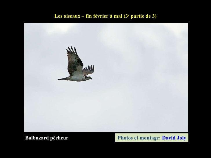 Balbuzard pêcheur Les oiseaux – fin février à mai (3 e  partie de 3) Photos et montage:  David Joly