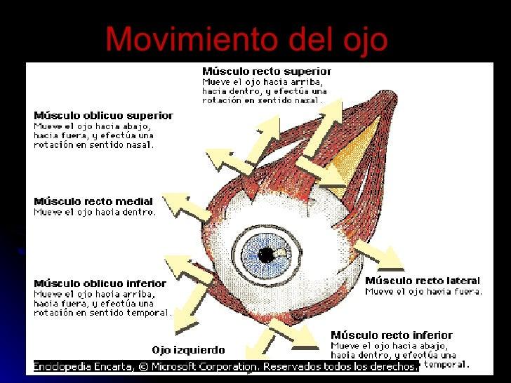 Ojo Antomia Musculos
