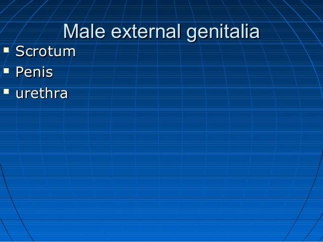 Anatomy of male external genitalia