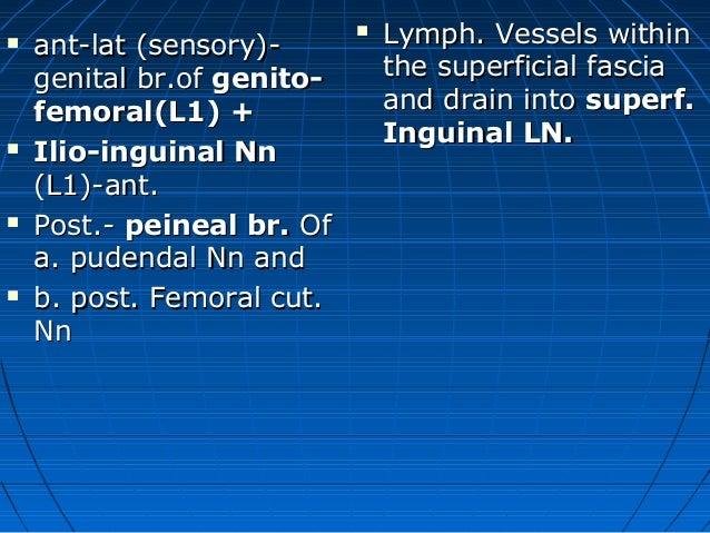 Male external genitalia anatomy - photo#53