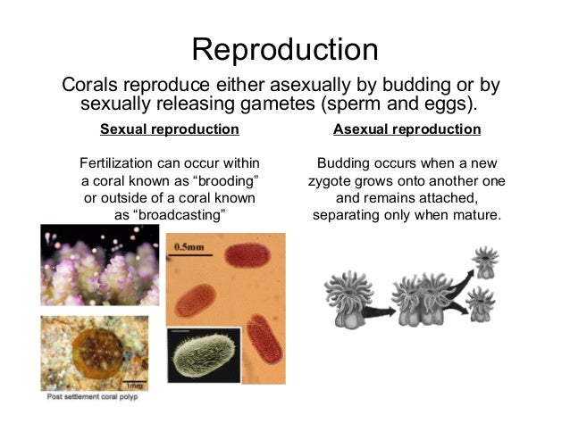 Coral asexual reproduction pictures