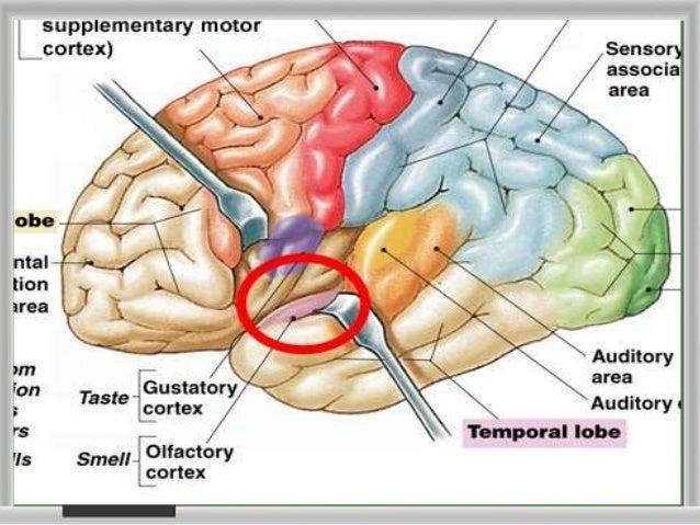 Olfactory Nerverhslideshare: Primary Smell Cortex Location At Gmaili.net