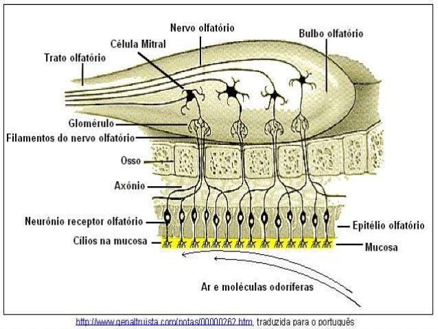 BOTONES GUSTATIVOS * Forma de bulbo. * Formados por 50-60 células individuales, delgadas y con forma de columna que se sep...