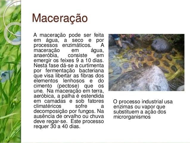 Maceração  A maceração pode ser feita  em água, a seco e por  processos enzimáticos. A  maceração em água,  anaeróbia, con...