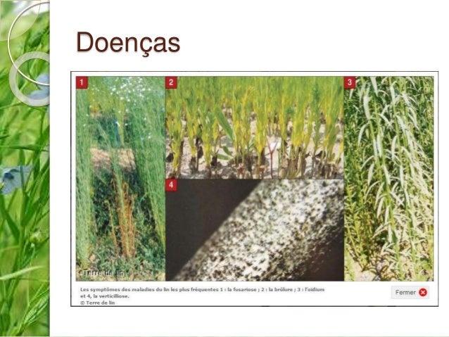 Controlo  Rotações longas (mais de 3 anos)  Uso de sementes certificadas  Desinfeção de sementes (fungicidas)  Uso de ...