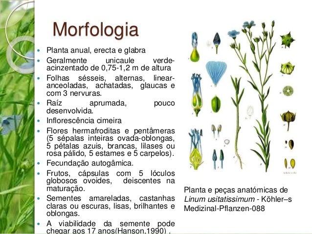 Morfologia   Planta anual, erecta e glabra   Geralmente unicaule verde-acinzentado  de 0,75-1,2 m de altura   Folhas sé...