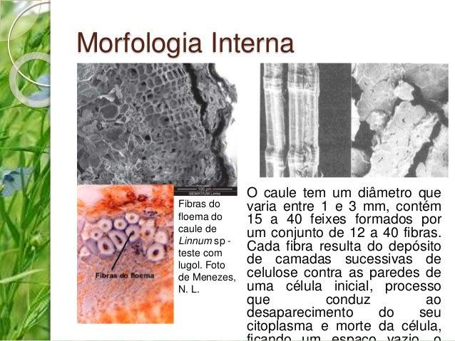 Morfologia Interna  O caule tem um diâmetro que  varia entre 1 e 3 mm, contém  15 a 40 feixes formados por  um conjunto de...