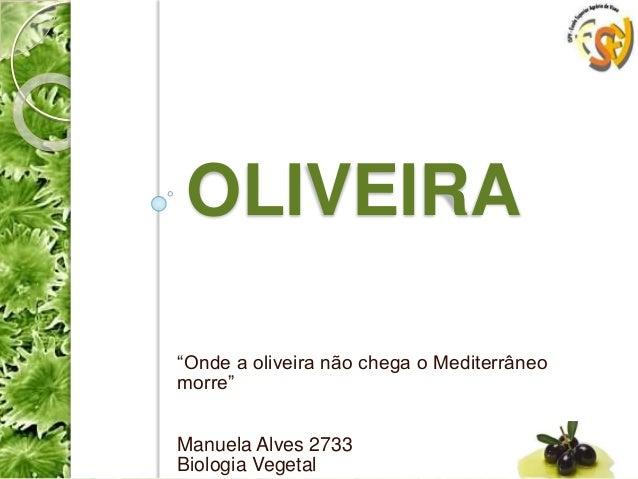 """OLIVEIRA """"Onde a oliveira não chega o Mediterrâneo morre"""" Manuela Alves 2733 Biologia Vegetal"""