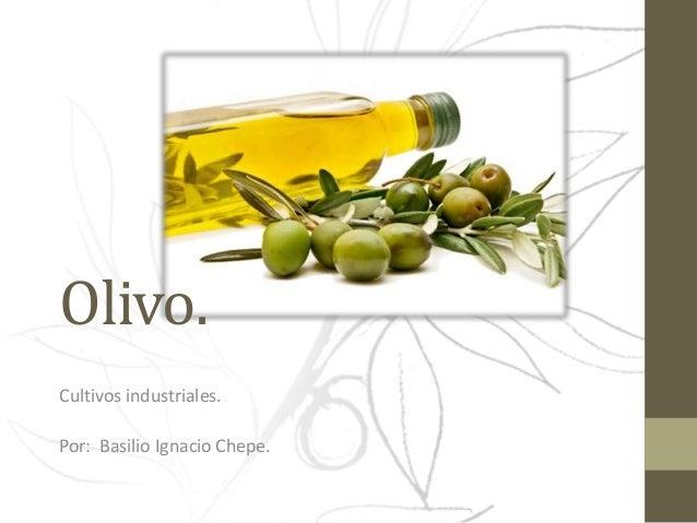 Olivo. Cultivos industriales. Por: Basilio Ignacio Chepe.