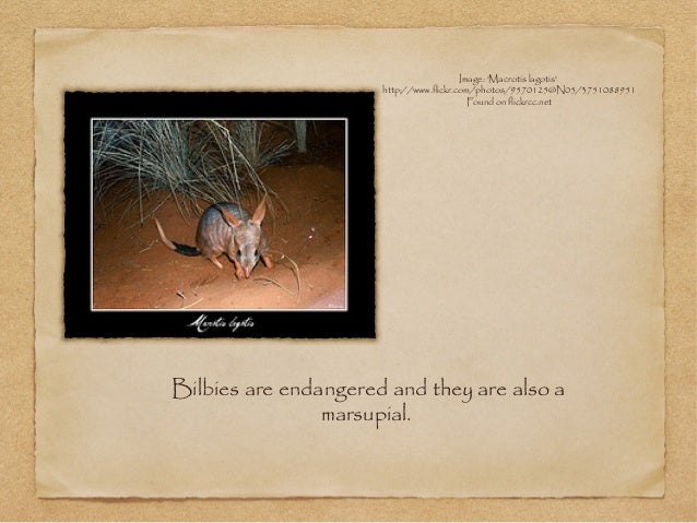 Bilbies are endangered and they are also a marsupial. Image: 'Macrotis lagotis' http://www.flickr.com/photos/9570125@N05/3...
