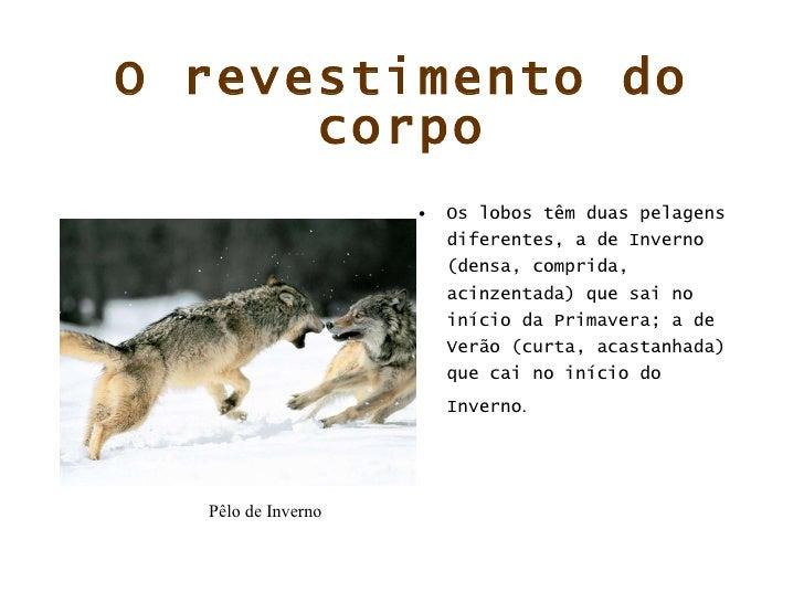O revestimento do corpo <ul><li>Os lobos têm duas pelagens diferentes, a de Inverno (densa, comprida, acinzentada) que sai...
