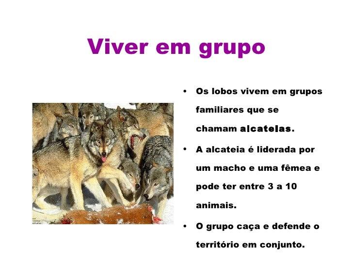 Viver em grupo <ul><li>Os lobos vivem em grupos familiares que se chamam  alcateias .  </li></ul><ul><li>A alcateia é lide...