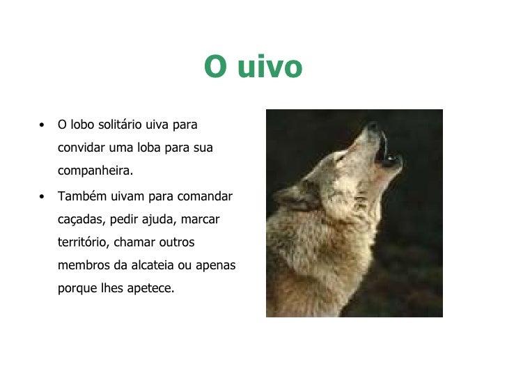 O uivo <ul><li>O lobo solitário uiva para convidar uma loba para sua companheira.  </li></ul><ul><li>Também uivam para com...