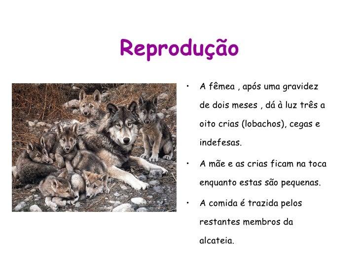 Reprodução <ul><li>A fêmea , após uma gravidez de dois meses , dá à luz três a oito crias (lobachos), cegas e indefesas.  ...