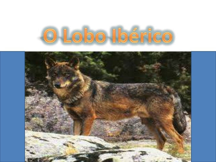 Habitat    O Lobo Ibérico    pode    encontrar-se    na Península    Ibérica . (A    maior parte em    Espanha)