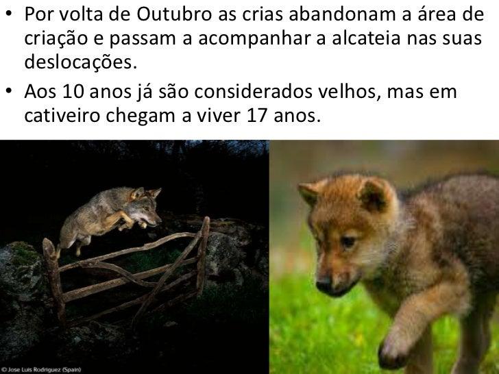 Como vive• Lobo Ibérico vive em alcateia para ter uma caça  facilitada, porque fazem um cerco à presa e um  deles ataca-a....