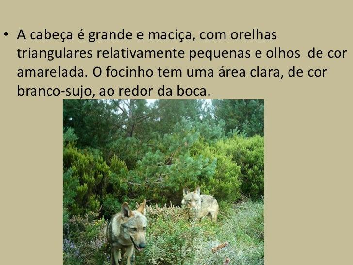 Associação de proteção do lobo            (Veranda)• Existe uma associação de proteção do Lobo  Ibérico fundada por vários...