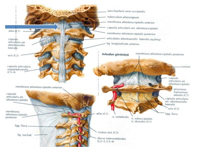 Omurga Anatomi Si Ayrıca, f harfi ile başlar, e harfi ile biter. omurga anatomi si