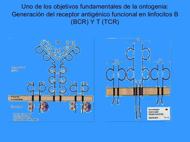 Uno de los objetivos fundamentales de la ontogenia:Generación del receptor antigénico funcional en linfocitos B           ...