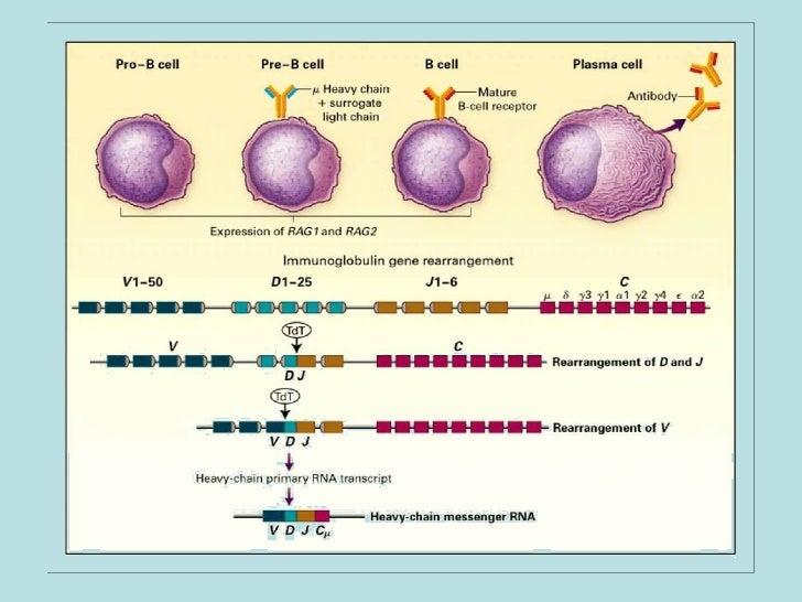 Ontogenia de Linfocitos B
