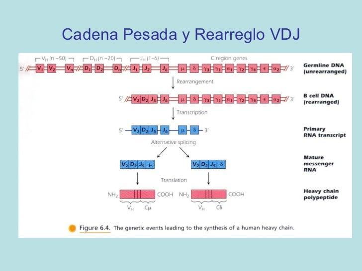 Loop de DNA durante el rearreglo de genes